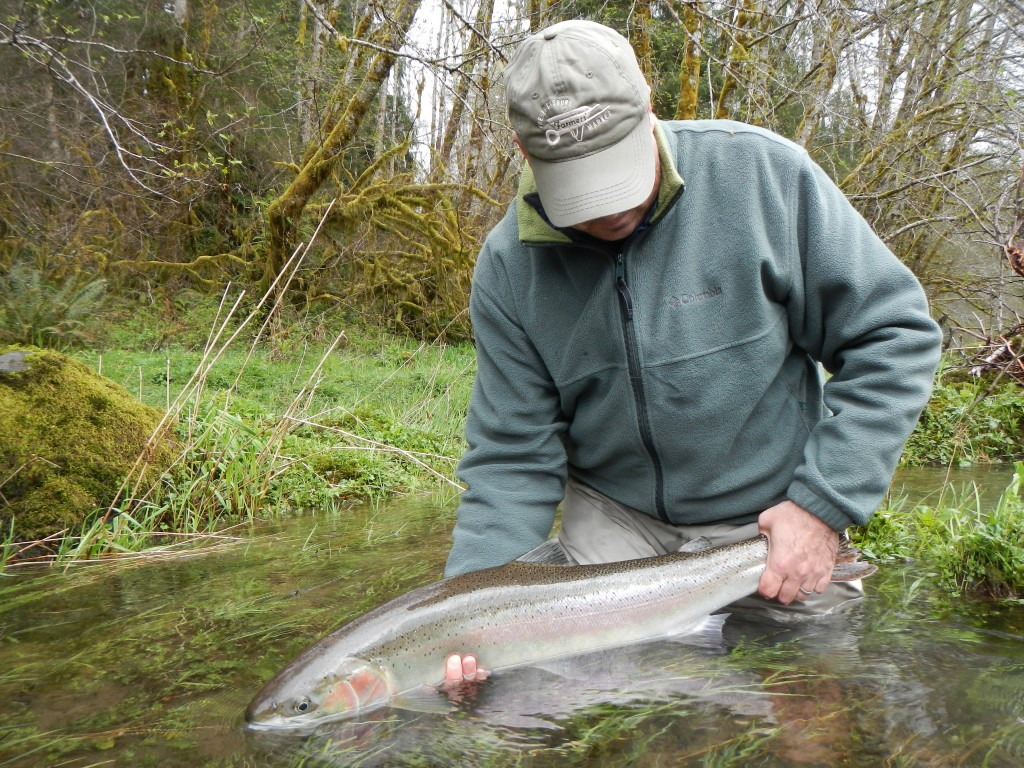 Shad with a nice spring steelhead